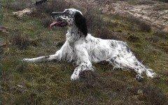 Cani da ferma: tutte le caratteristiche e le razze