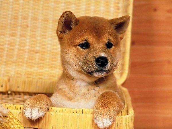 Razas de Perros: Shiba Inu caracteristicas y cuidados