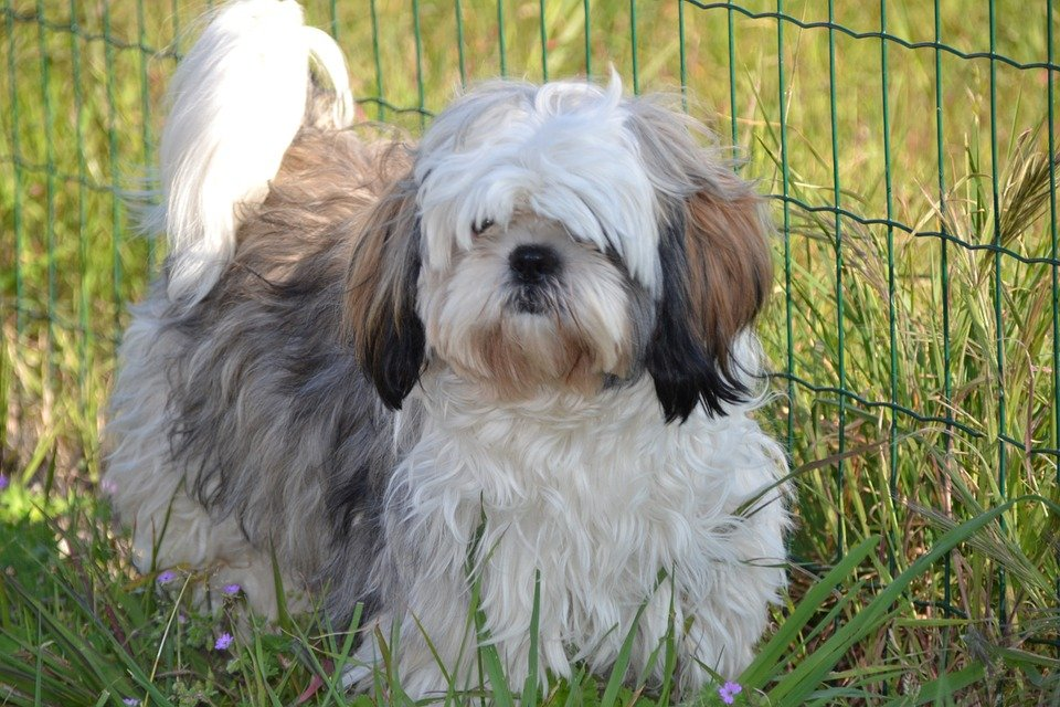 Helpful dog unbelievably saves grandmother's life! This is kind of heroism by Oreo, a small Shih Tzu that saved a 91-year-old woman after a fall.