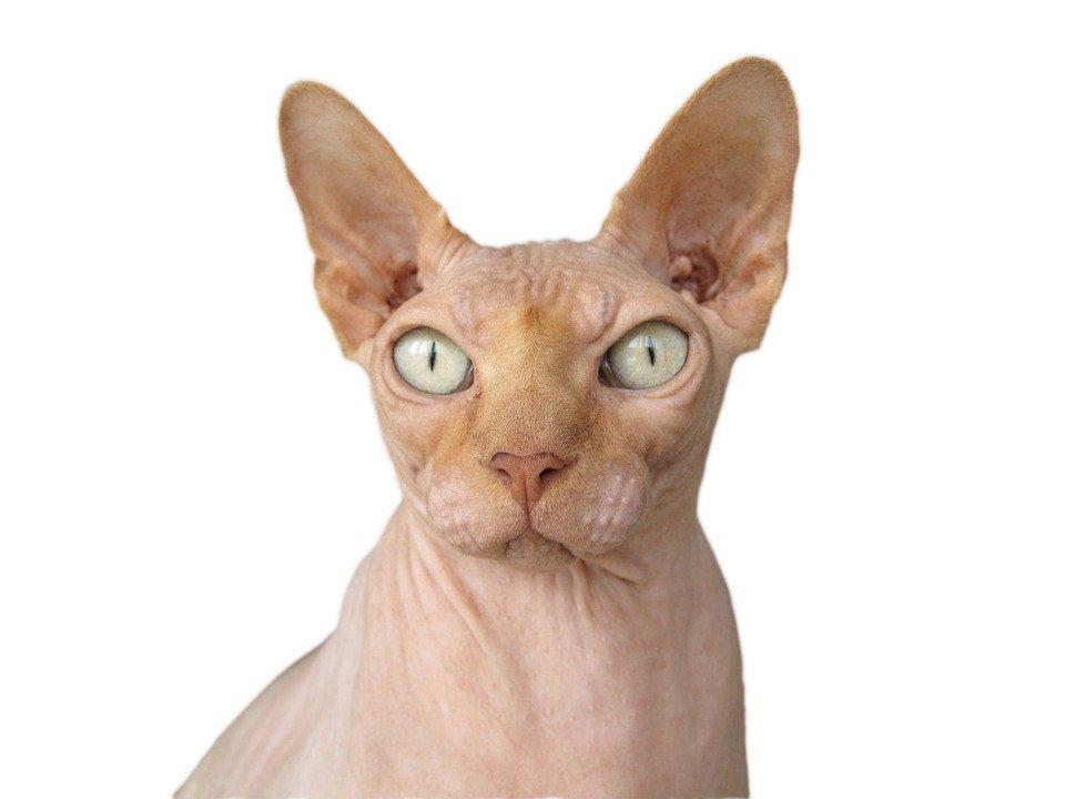 Gato sin pelo: las razas mas conocidas de felinos sin pelo