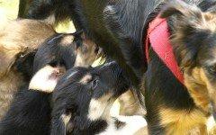 Alimentazione del cane che allatta: i nutrienti necessari