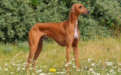 Dog breeds: The Azawakh dog temperament and personality