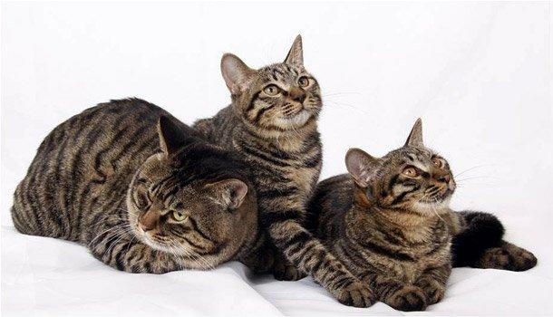 Razas Felinas: gato Dragon Li características y carácter