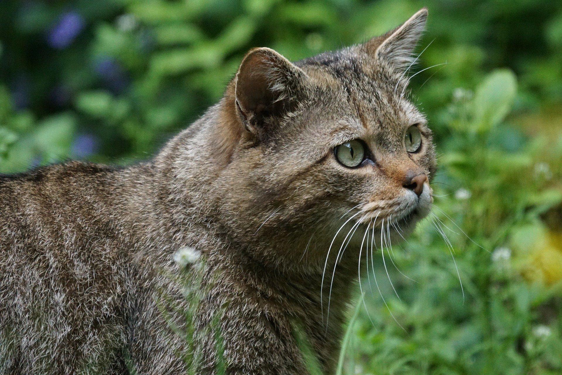 Gatto selvatico italiano: aspetto e caratteristiche