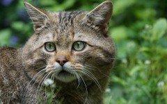Avvistato un raro felino selvatico all'Acquerino