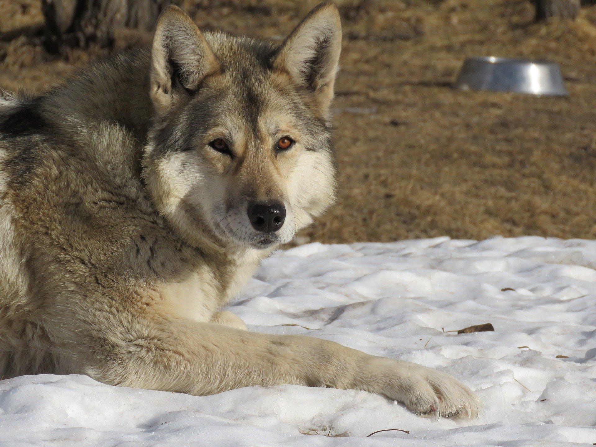 Alimentazione del cane lupo cecoslovacco
