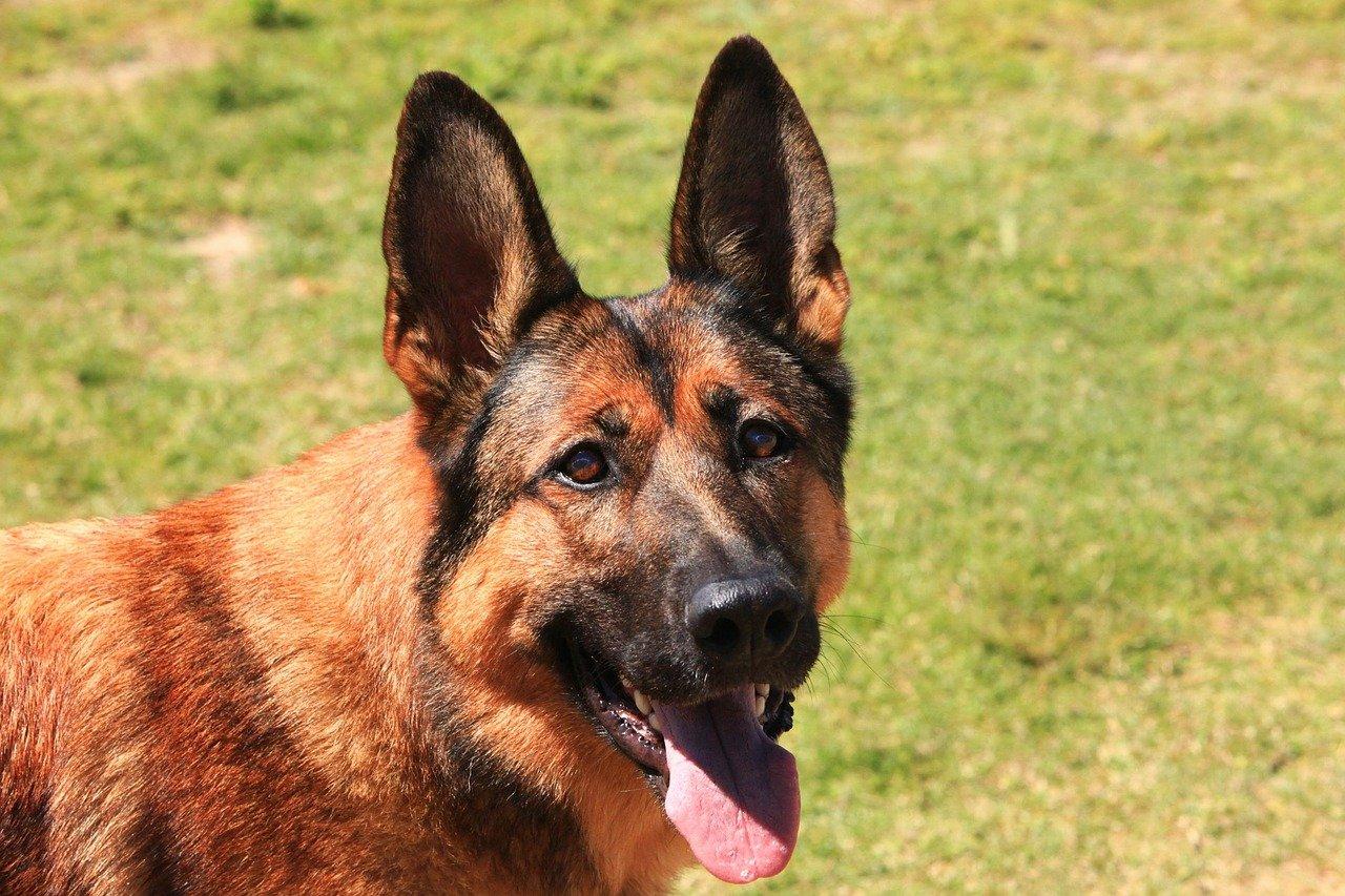 Alimentazione del cane pastore tedesco