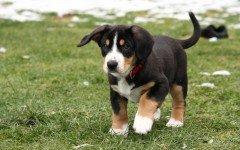 Razas de Perros: perro Entlebucher caracteristicas y cuidados