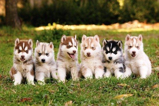 Razas de Perros: Perro Pomsky caracteristicas y cuidados