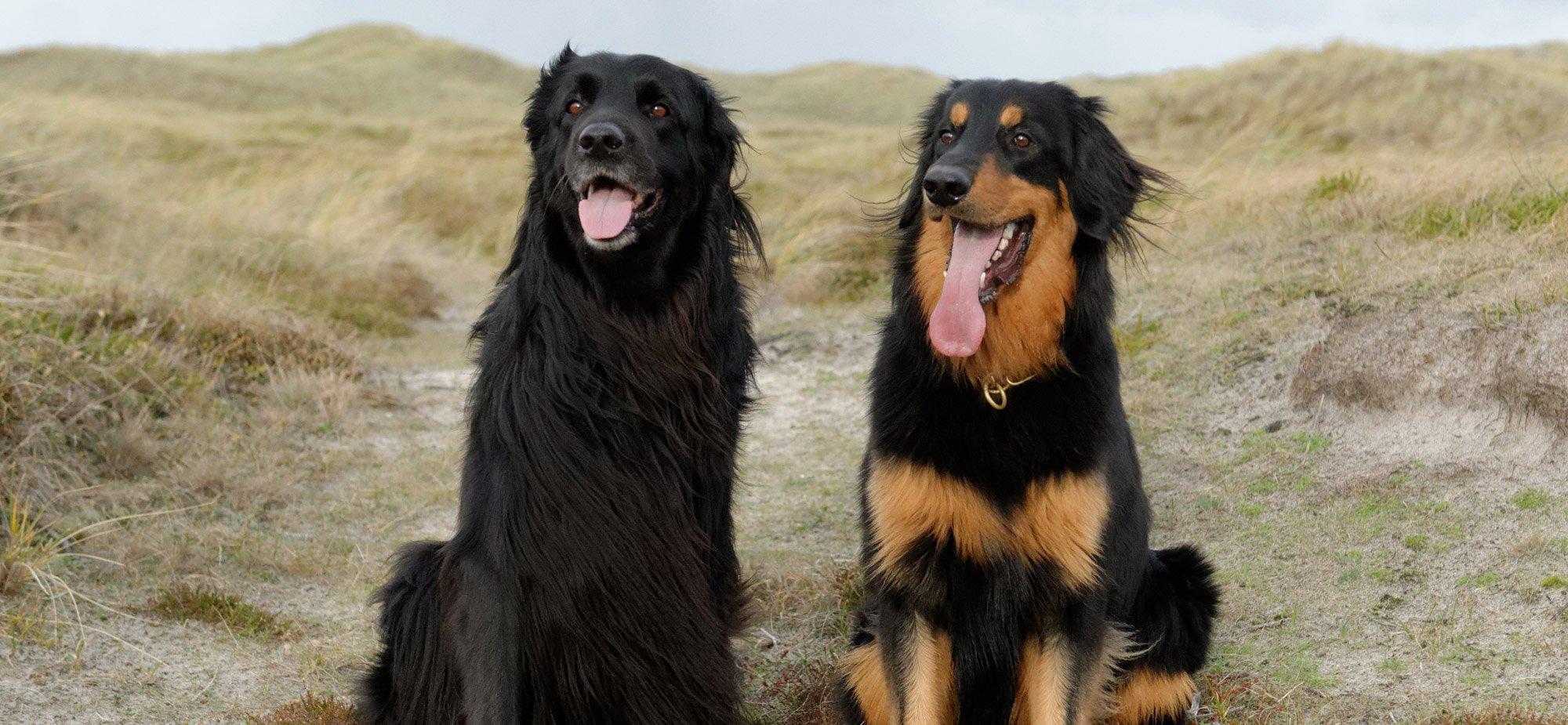 Razas de Perros: perro Hovawart caracteristicas y cuidados