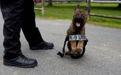 ¿Qué sabes sobre los maravillosos perros policias? perro policia