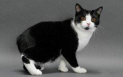 Razas Felinas: Gato Manx carácter y características