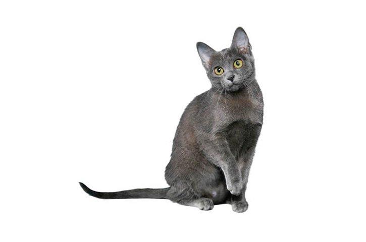 Razas Felinas: gato Korat carácter y características