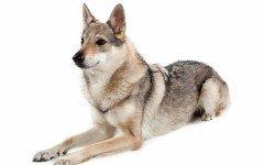 Razas de Perros: Perro Lobo Checoslovaco caracteristicas