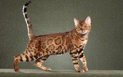 Razas Felinas: Gato Leopardo caracter y características