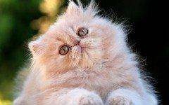 Razas Felinas: Gato Persa Características y caracter gatos persas