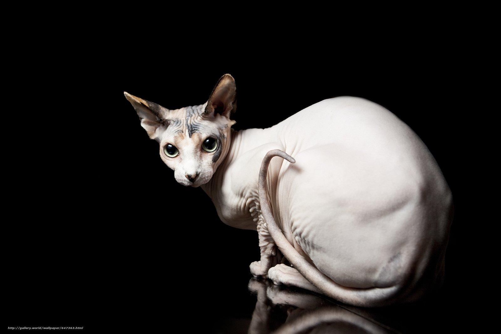 Razas de Gatos sin Pelo: los felinos poco peludos