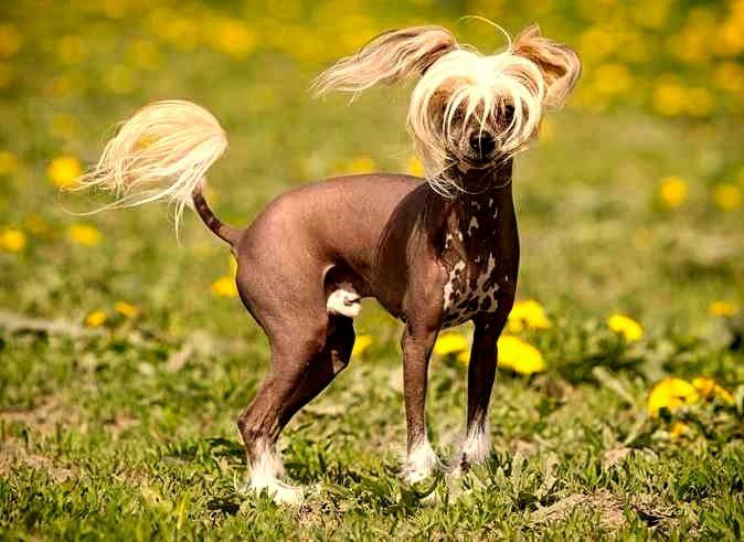 Razas de perros sin pelo: ¡divertidísimas! perro sin pelo