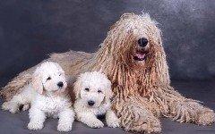 Razas de Perros: perro Komondor caracteristicas y cuidados