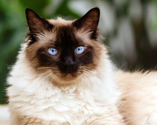Razas Felinas: gato Himalayo carácter y características gatos himalayas