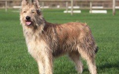 Dog breeds: Berger Picard dog temperament and personality