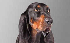 Dog breeds: Black and Tan Coonhound dog