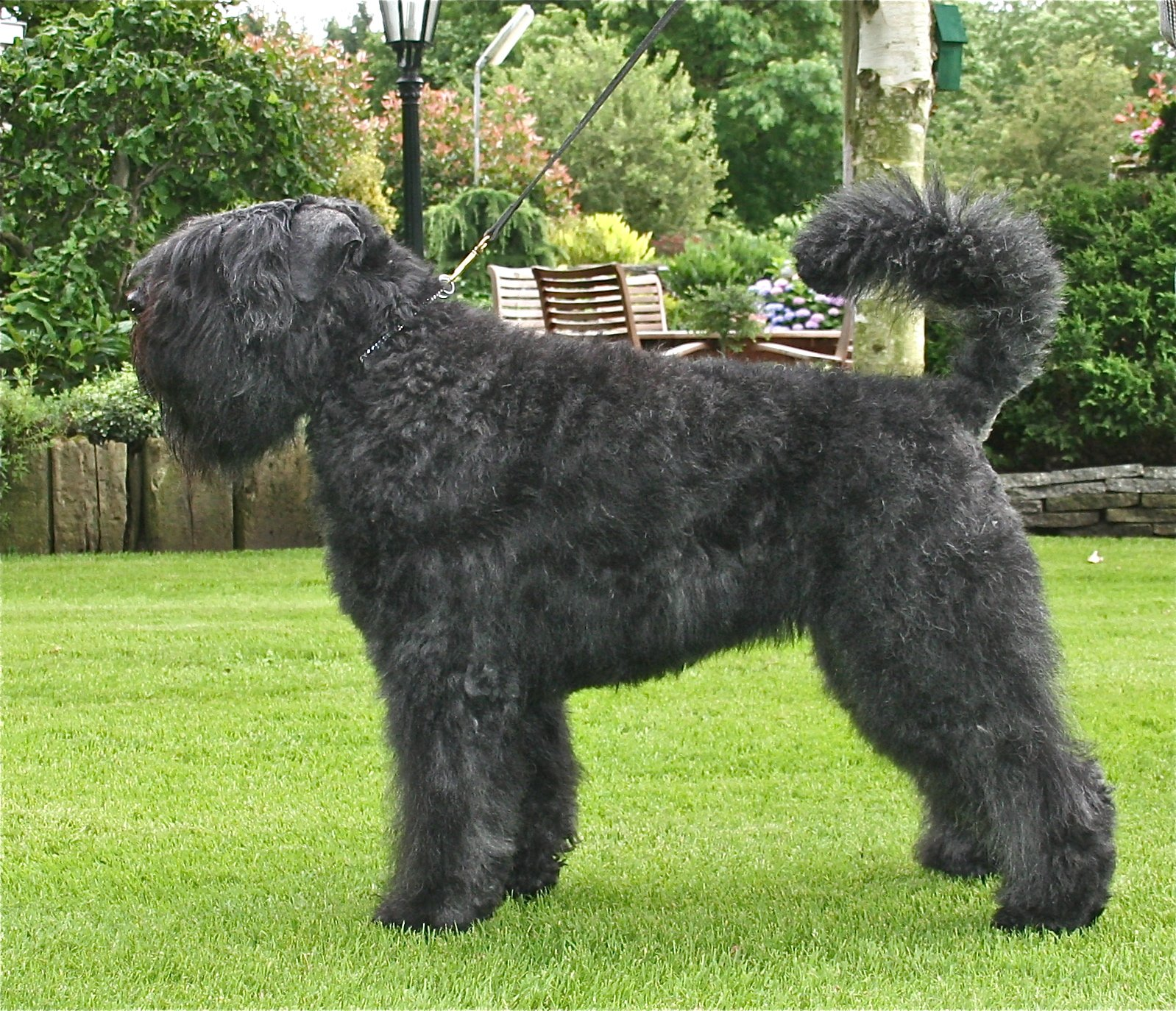 Dog breeds: Bouvier des Flanders Dog temperament