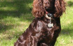Dog breeds: Boykin Spaniel dog temperament and personality