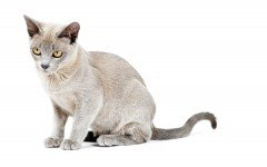 Cat breeds: the Burmese Cat, characteristics and personality