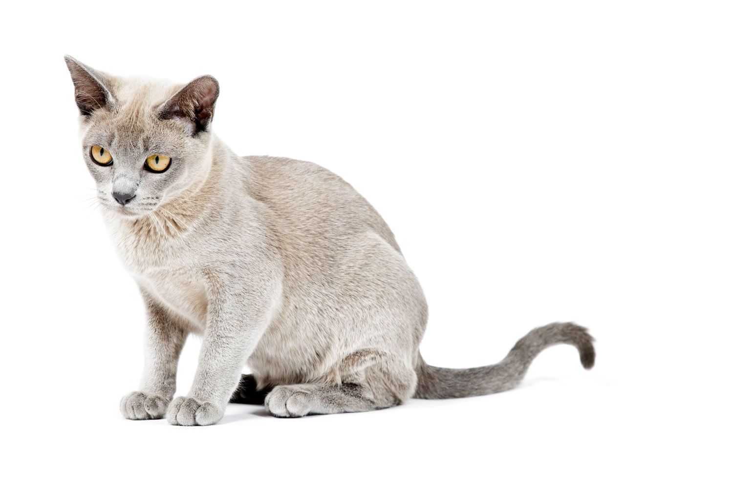 Cat breeds the Burmese Cat characteristics and personality
