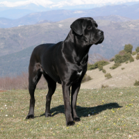 Dog Breeds Cane Corso Dog Temperament And Personality