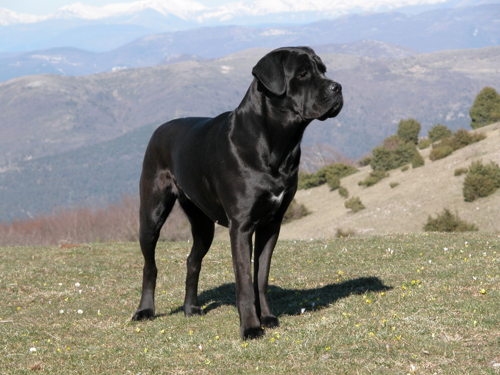 Dog breeds: Cane Corso dog temperament and personality