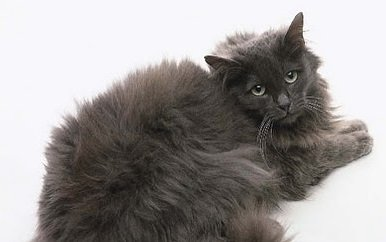Cat breeds: Chantilly-Tiffany cat, characteristics and personality