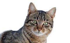 Cat breeds: The Dragon Li cat characteristics and personality