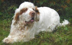 Dog breeds: Clumber Spaniel Dog temperament & personality