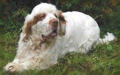 Dog breeds: Clumber Spaniel Dog temperament & personality