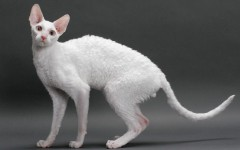 Cat breeds: Cornish Rex cat characteristics and personality
