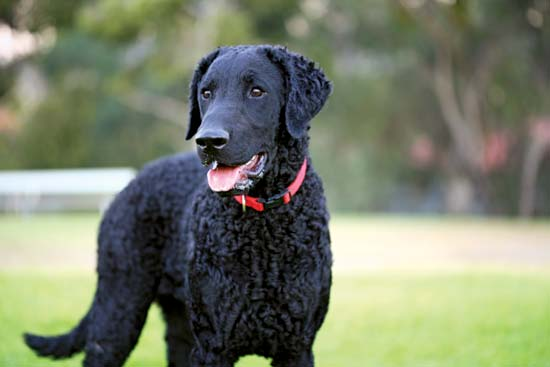 Dog breeds: Curly-Coated Retriever Dog temperament, personality
