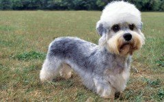 The Dandie Dinmont Terrier dog is a Scottish version of the Terrier family. He is nicknamed the gentleman of this family.