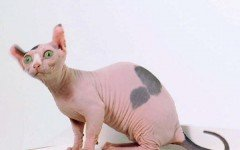 Cat breeds: the Dwelf Cat characteristics and personality