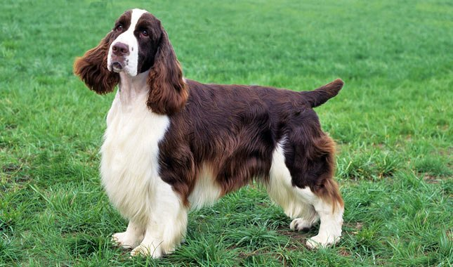 English springler spaniel dog: characteristics and behavior - discover it on Dogalize