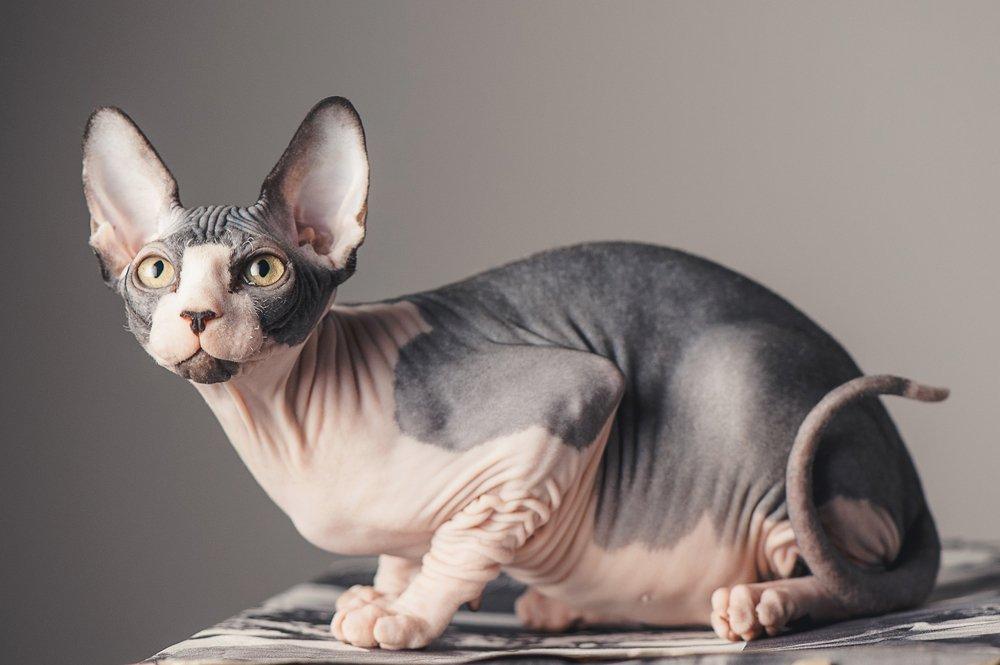 Razas Felinas: Gato Esfinge caracter y características