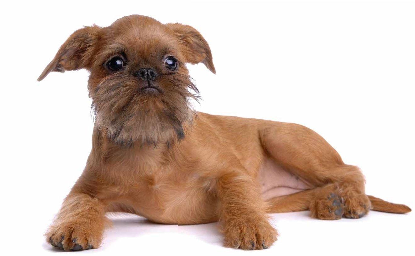 Razas de Perros: perro Grifon Belga caracteristicas y cuidados