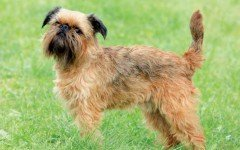 Dog breeds: Tiny Brussels Griffon dog temperament and personality