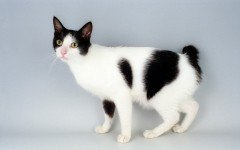 Cat breeds: Japanese Bobtail Cat characteristics and personality