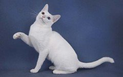 Cat breeds: Khao Manee Cat characteristics and personality