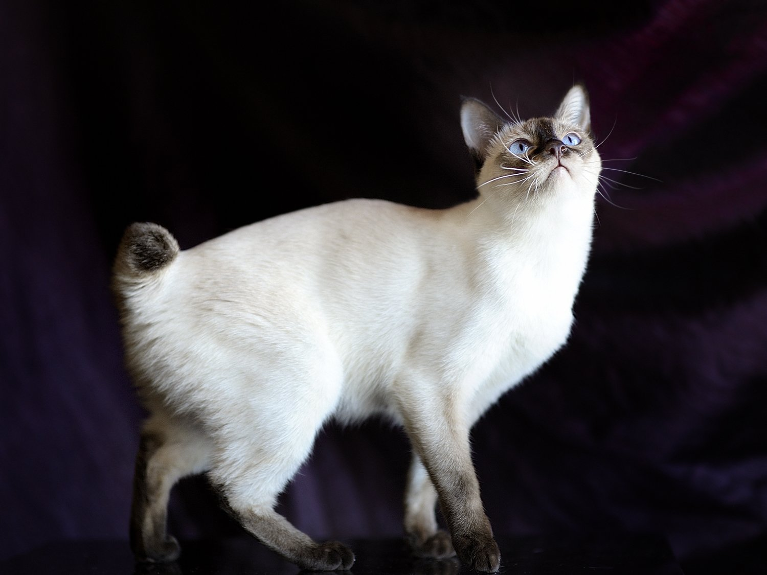 The Mekong Bobtail cat is a loving and affectionate, dog-like cat original from Thailand but developed in Russia. They are medium-sized and make great pets.