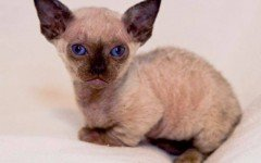 Cat breed: Minskin Cat characteristics and personality