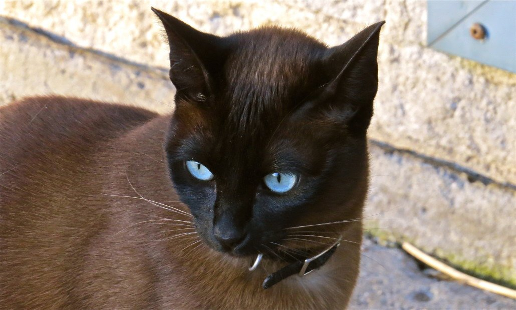The Ojos Azules cat is a rare breed of domestic cat whose most striking feature is their gorgeous blue eyes. He was developed in the United States.