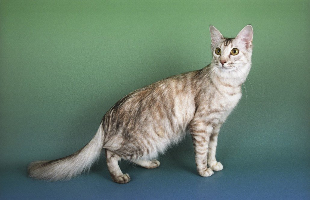 The Oriental Longhair cat is a variety of Oriental breed. Their most obvious and distinguishable characteristic is the especially long hair.